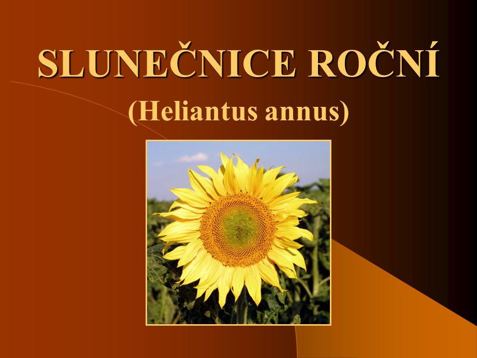 SLUNEČNICE ROČNÍ (Heliantus annus)
