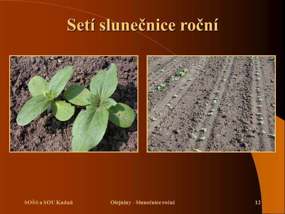 SOŠS a SOU KadaňOlejniny - Slunečnice roční12 Setí slunečnice roční