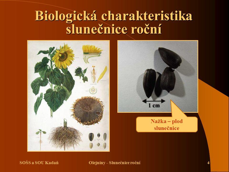 SOŠS a SOU KadaňOlejniny - Slunečnice roční5 Biologická charakteristika slunečnice roční Květy jsou uspořádány do úboru Po obvodu jsou sterilní jazykovité květy a v terči jsou plodné trubkovité květy