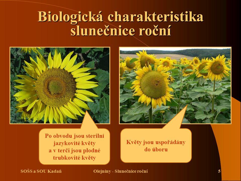 SOŠS a SOU KadaňOlejniny - Slunečnice roční16 Sklizeň slunečnice roční Sklizeň pomocí sklízecí mlátičky Průběh sklizně