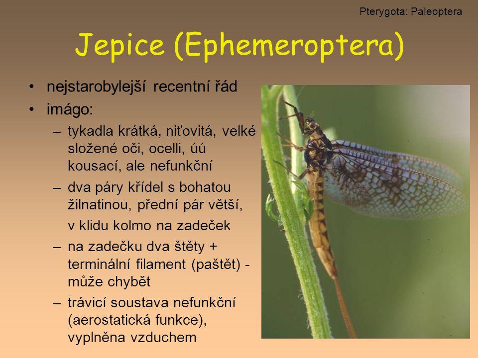 Jepice (Ephemeroptera) nejstarobylejší recentní řád imágo: –tykadla krátká, niťovitá, velké složené oči, ocelli, úú kousací, ale nefunkční –dva páry k