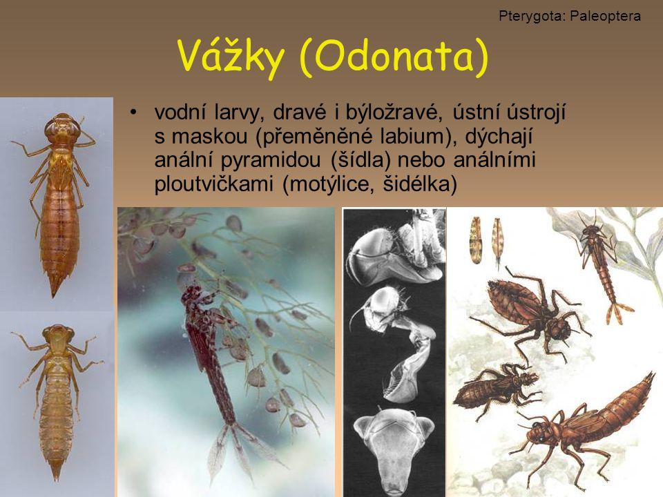 vodní larvy, dravé i býložravé, ústní ústrojí s maskou (přeměněné labium), dýchají anální pyramidou (šídla) nebo análními ploutvičkami (motýlice, šidé