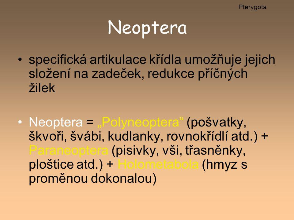 """Neoptera specifická artikulace křídla umožňuje jejich složení na zadeček, redukce příčných žilek Neoptera = """"Polyneoptera"""" (pošvatky, škvoři, švábi, k"""