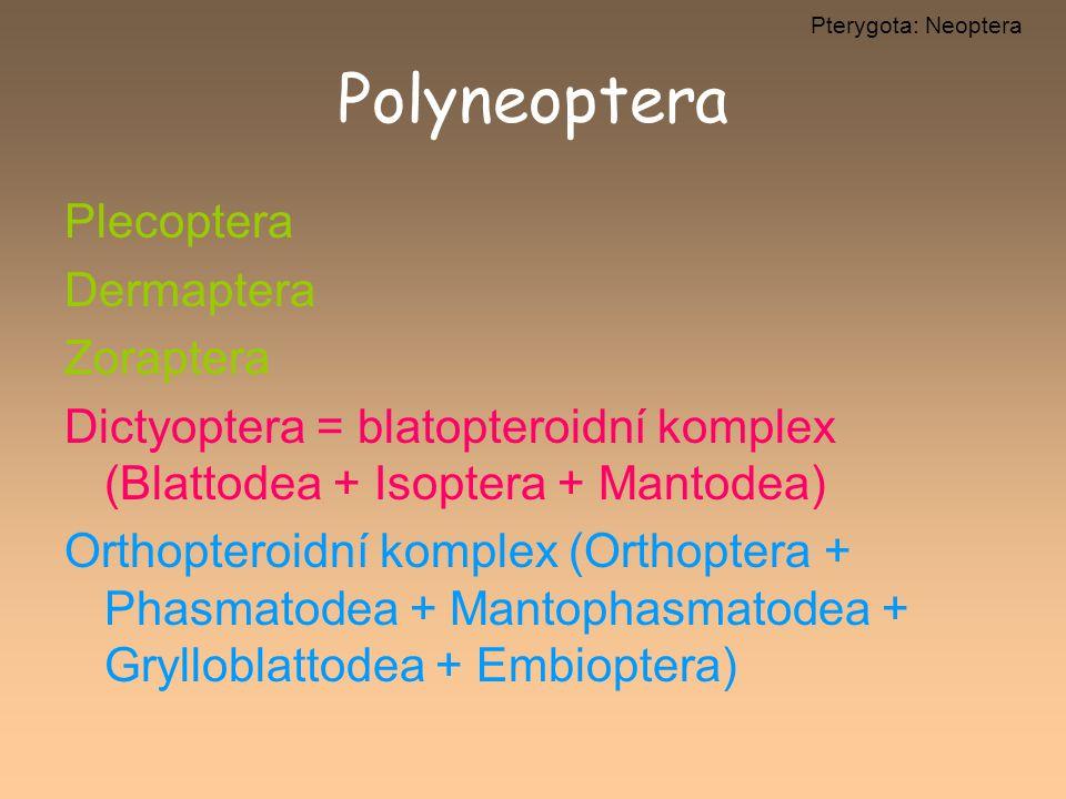 Polyneoptera Plecoptera Dermaptera Zoraptera Dictyoptera = blatopteroidní komplex (Blattodea + Isoptera + Mantodea) Orthopteroidní komplex (Orthoptera
