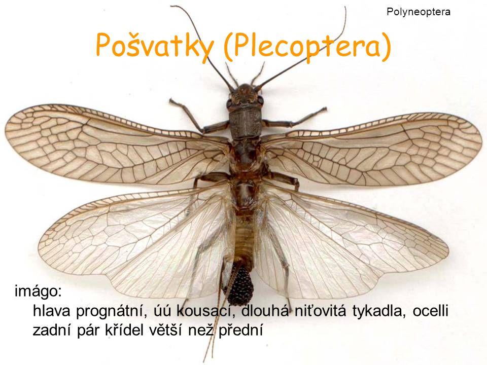 imágo: hlava prognátní, úú kousací, dlouhá niťovitá tykadla, ocelli zadní pár křídel větší než přední Pošvatky (Plecoptera) Polyneoptera