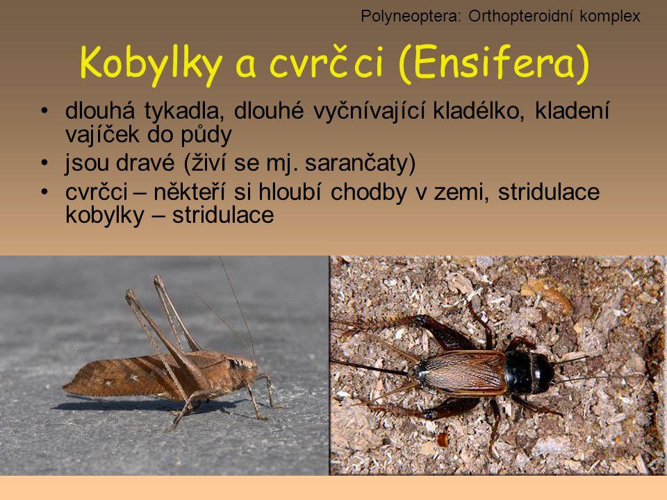 Kobylky a cvrčci (Ensifera) dlouhá tykadla, dlouhé vyčnívající kladélko, kladení vajíček do půdy jsou dravé (živí se mj. sarančaty) cvrčci – někteří s