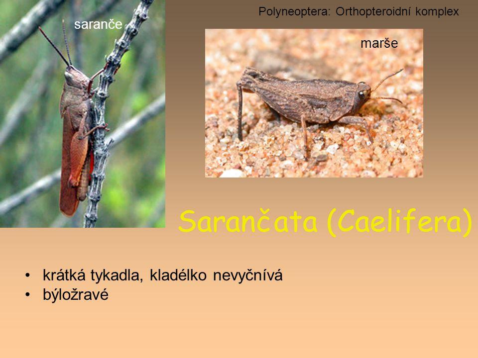 Sarančata (Caelifera) krátká tykadla, kladélko nevyčnívá býložravé Polyneoptera: Orthopteroidní komplex saranče marše