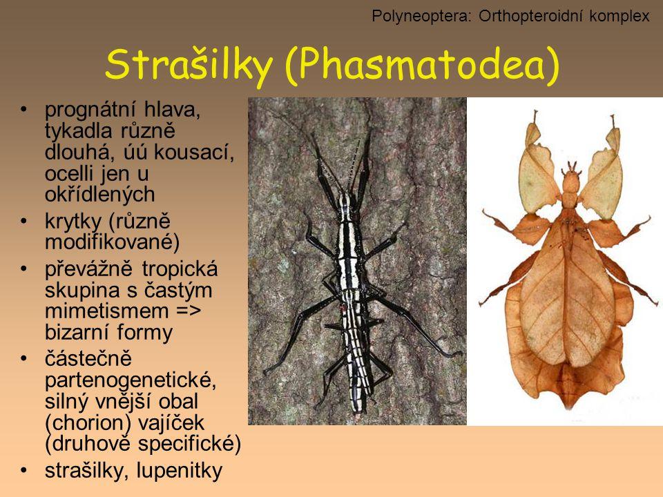 Strašilky (Phasmatodea) prognátní hlava, tykadla různě dlouhá, úú kousací, ocelli jen u okřídlených krytky (různě modifikované) převážně tropická skup