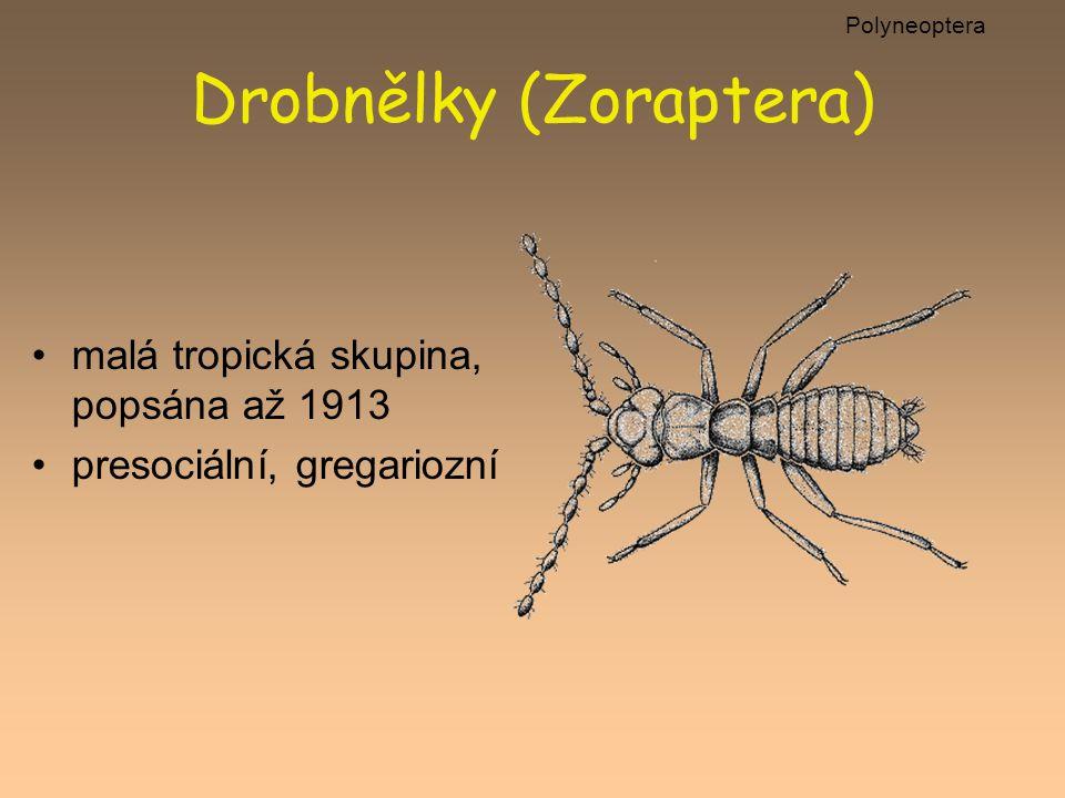 Drobnělky (Zoraptera) malá tropická skupina, popsána až 1913 presociální, gregariozní Polyneoptera