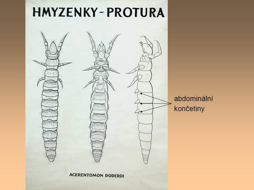 abdominální končetiny