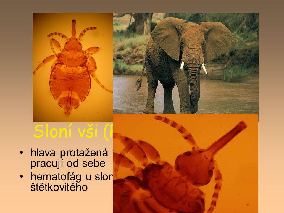 Sloní vši (Rhynchophthirina) hlava protažená v dlouhé rostrum, mandibuly pracují od sebe hematofág u slonů a prasete bradavičnatého a štětkovitého