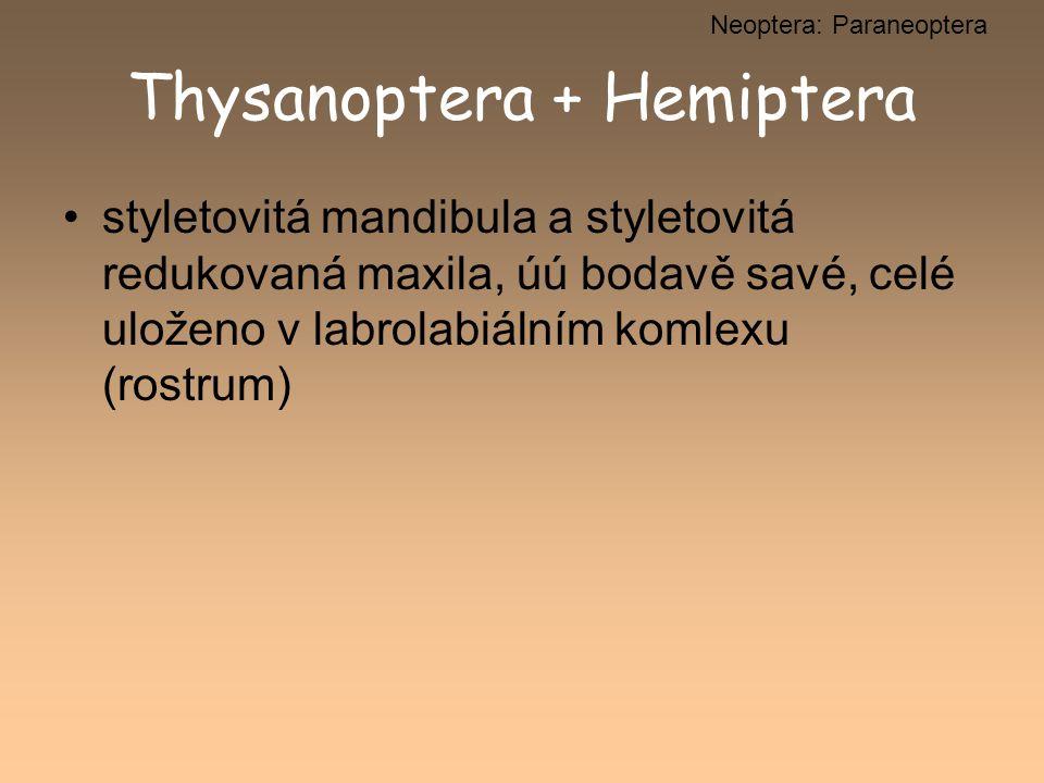 Thysanoptera + Hemiptera styletovitá mandibula a styletovitá redukovaná maxila, úú bodavě savé, celé uloženo v labrolabiálním komlexu (rostrum) Neopte