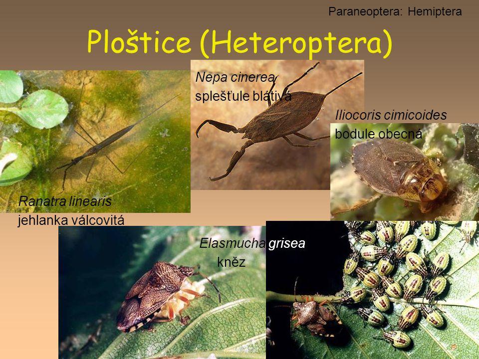 Ploštice (Heteroptera) Paraneoptera: Hemiptera Ranatra linearis jehlanka válcovitá Nepa cinerea splešťule blátivá Elasmucha grisea kněz Iliocoris cimi