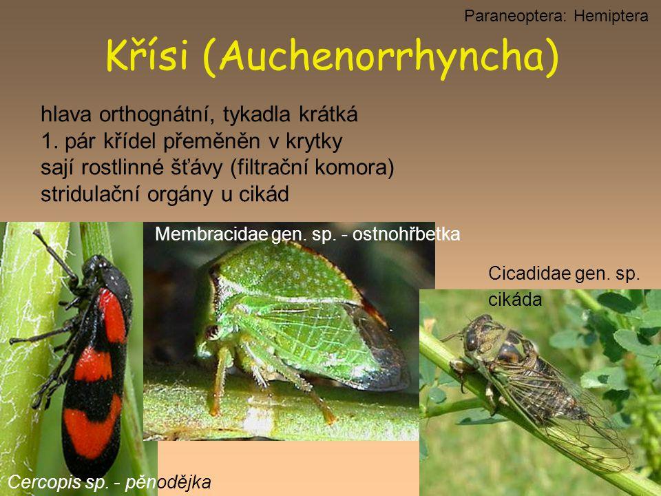 hlava orthognátní, tykadla krátká 1. pár křídel přeměněn v krytky sají rostlinné šťávy (filtrační komora) stridulační orgány u cikád Křísi (Auchenorrh