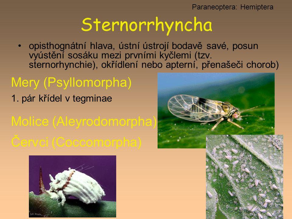 opisthognátní hlava, ústní ústrojí bodavě savé, posun vyústění sosáku mezi prvními kyčlemi (tzv. sternorhynchie), okřídlení nebo apterní, přenašeči ch