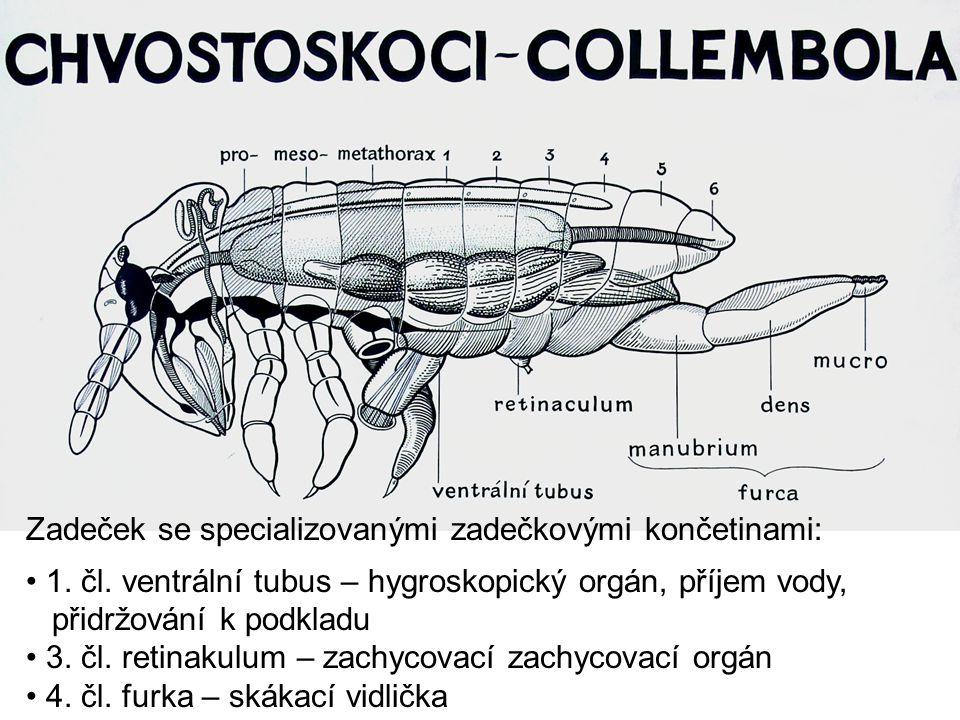 Zadeček se specializovanými zadečkovými končetinami: 1. čl. ventrální tubus – hygroskopický orgán, příjem vody, přidržování k podkladu 3. čl. retinaku