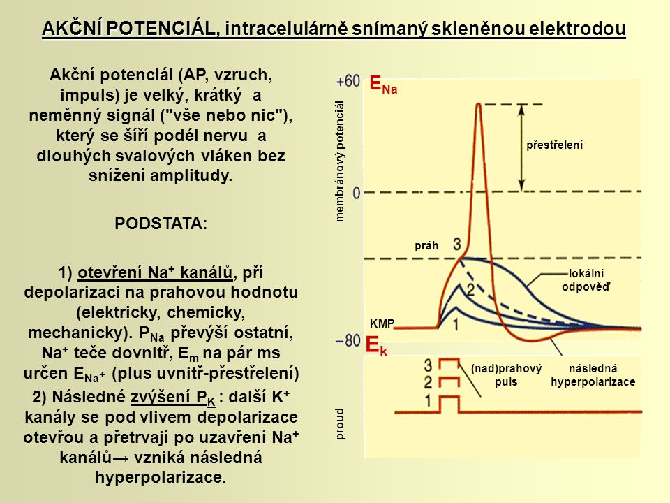 Akční potenciál (AP, vzruch, impuls) je velký, krátký a neměnný signál (