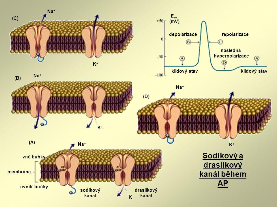 K+K+ Na + sodíkový kanál membrána draslíkový kanál vně buňky uvnitř buňky (A) K+K+ Na + (C) Na + K+K+ (D) klidový stav depolarizacerepolarizace násled