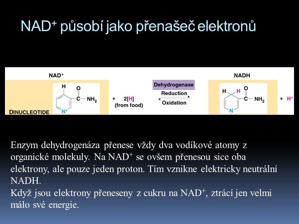 NAD + působí jako přenašeč elektronů Enzym dehydrogenáza přenese vždy dva vodíkové atomy z organické molekuly. Na NAD + se ovšem přenesou sice oba ele