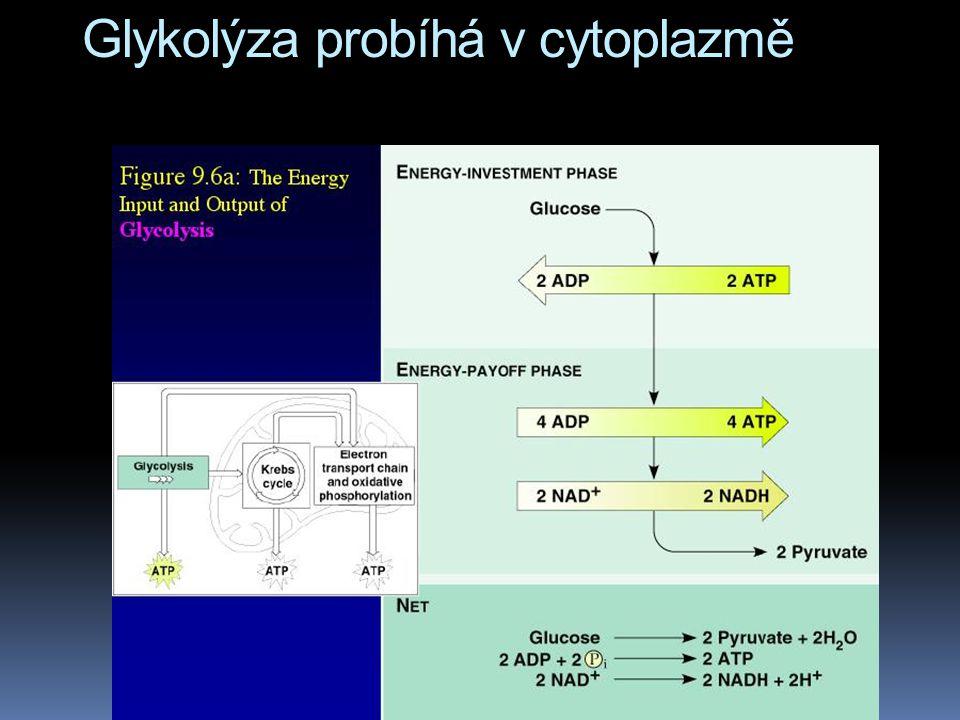 Glykolýza probíhá v cytoplazmě