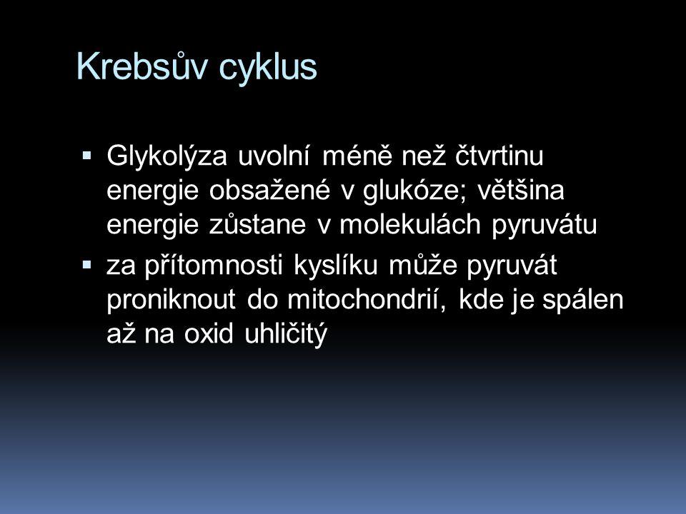 Krebsův cyklus  Glykolýza uvolní méně než čtvrtinu energie obsažené v glukóze; většina energie zůstane v molekulách pyruvátu  za přítomnosti kyslíku
