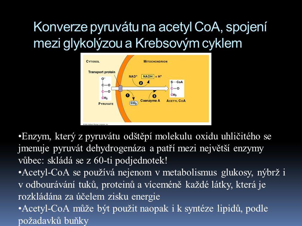 Konverze pyruvátu na acetyl CoA, spojení mezi glykolýzou a Krebsovým cyklem Enzym, který z pyruvátu odštěpí molekulu oxidu uhličitého se jmenuje pyruv