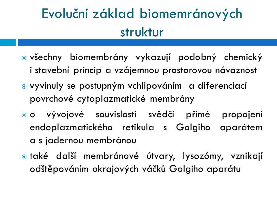 Evoluční základ biomemránových struktur  všechny biomembrány vykazují podobný chemický i stavební princip a vzájemnou prostorovou návaznost  vyvinuly se postupným vchlipováním a diferenciací povrchové cytoplazmatické membrány  o vývojové souvislosti svědčí přímé propojení endoplazmatického retikula s Golgiho aparátem a s jadernou membránou  také další membránové útvary, lysozómy, vznikají odštěpováním okrajových váčků Golgiho aparátu