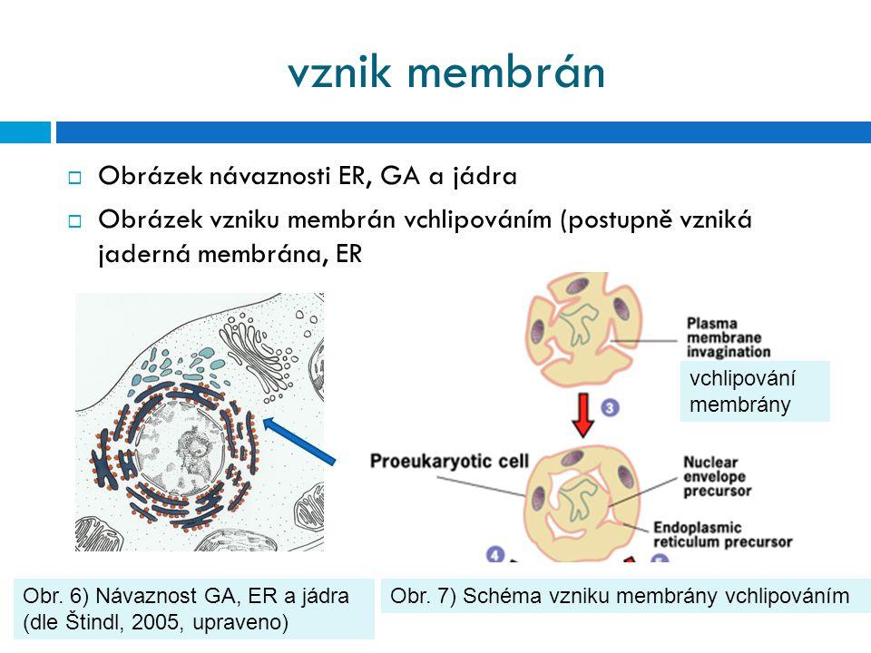 vznik membrán  Obrázek návaznosti ER, GA a jádra  Obrázek vzniku membrán vchlipováním (postupně vzniká jaderná membrána, ER Obr. 6) Návaznost GA, ER