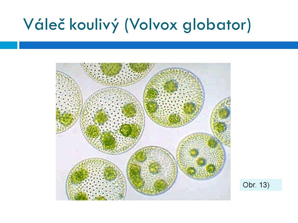 Váleč koulivý (Volvox globator) Obr. 13)