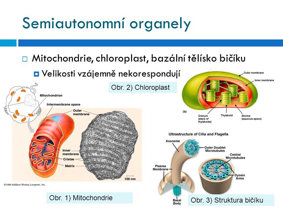 Semiautonomní organely  Mitochondrie, chloroplast, bazální tělísko bičíku  Velikosti vzájemně nekorespondují Obr. 1) Mitochondrie Obr. 3) Struktura