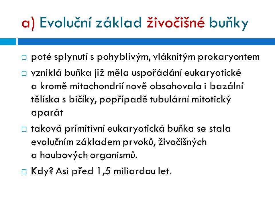 a) Evoluční základ živočišné buňky  poté splynutí s pohyblivým, vláknitým prokaryontem  vzniklá buňka již měla uspořádání eukaryotické a kromě mitochondrií nově obsahovala i bazální tělíska s bičíky, popřípadě tubulární mitotický aparát  taková primitivní eukaryotická buňka se stala evolučním základem prvoků, živočišných a houbových organismů.