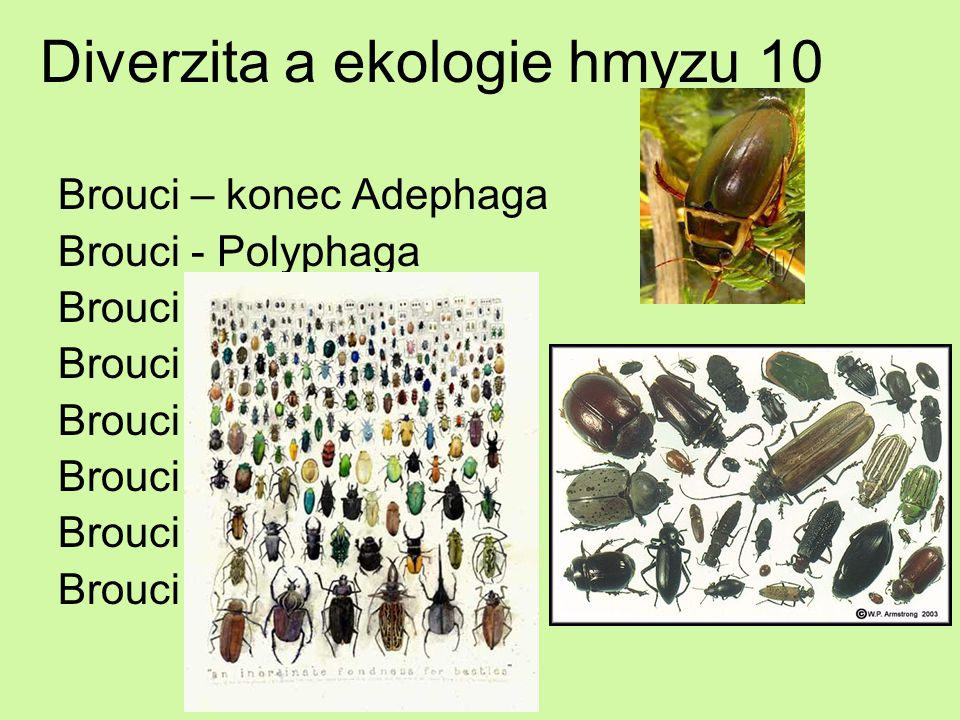 Diverzita a ekologie hmyzu 10 Brouci – konec Adephaga Brouci - Polyphaga Brouci