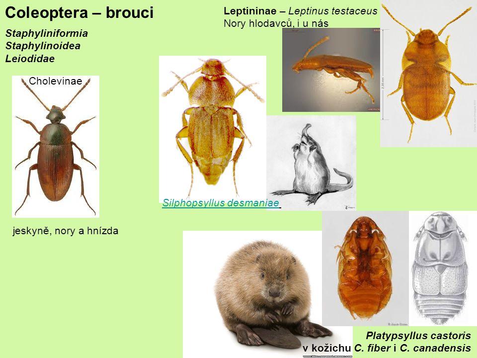 Coleoptera – brouci Staphyliniformia Staphylinoidea Leiodidae jeskyně, nory a hnízda Cholevinae Leptininae – Leptinus testaceus Nory hlodavců, i u nás Platypsyllus castoris v kožichu C.