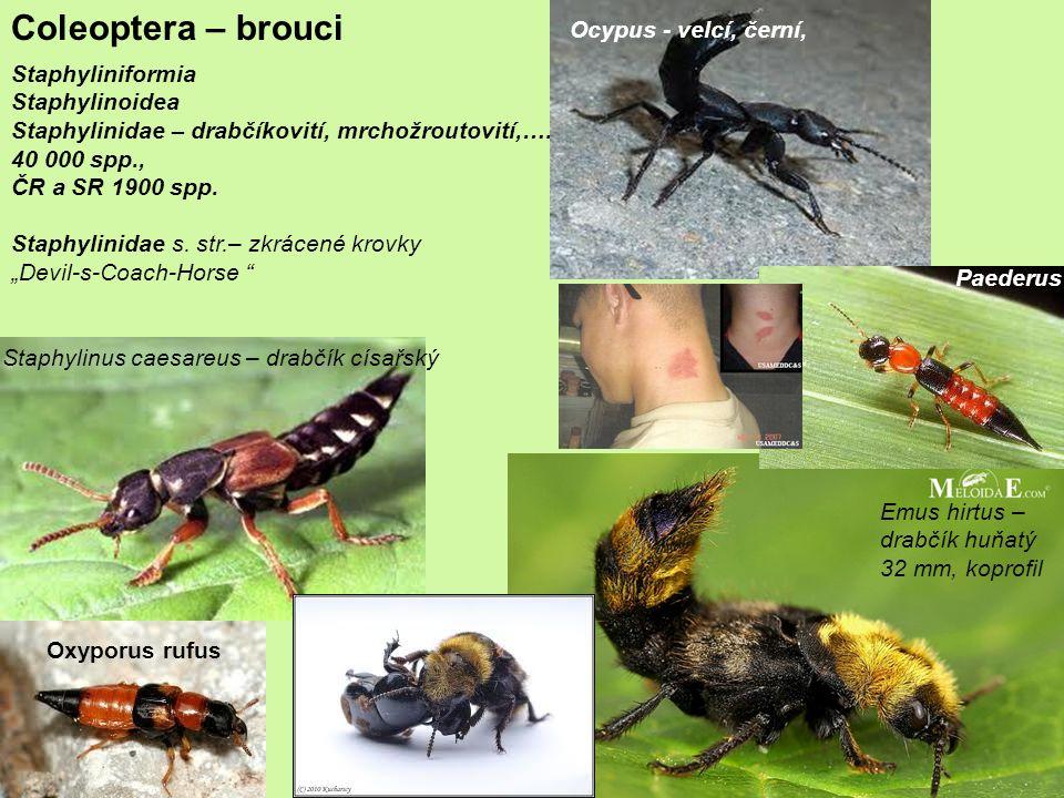 Coleoptera – brouci Staphyliniformia Staphylinoidea Staphylinidae – drabčíkovití, mrchožroutovití,….