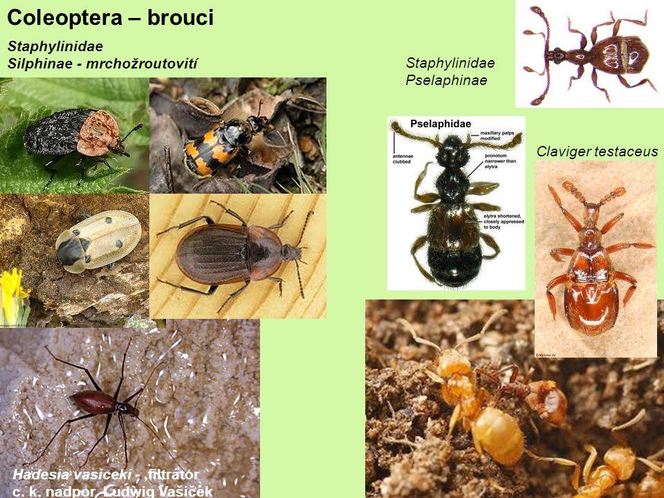 Coleoptera – brouci Staphylinidae Silphinae - mrchožroutovití Staphylinidae Pselaphinae Hadesia vasiceki -,filtrátor c.