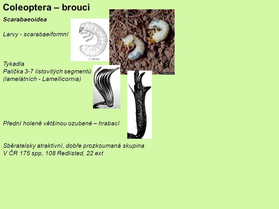 Coleoptera – brouci Scarabaeoidea Larvy - scarabaeiformní Tykadla Palička 3-7 listovitých segmentů (lamelátních - Lamellicornia) Přední holeně většinou ozubené – hrabací Sběratelsky atraktivní, dobře prozkoumaná skupina V ČR 175 spp, 108 Redlisted, 22 ext