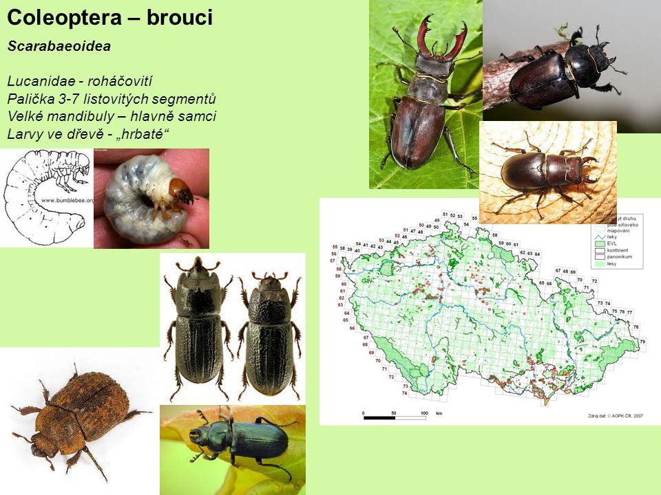 """Coleoptera – brouci Scarabaeoidea Lucanidae - roháčovití Palička 3-7 listovitých segmentů Velké mandibuly – hlavně samci Larvy ve dřevě - """"hrbaté"""