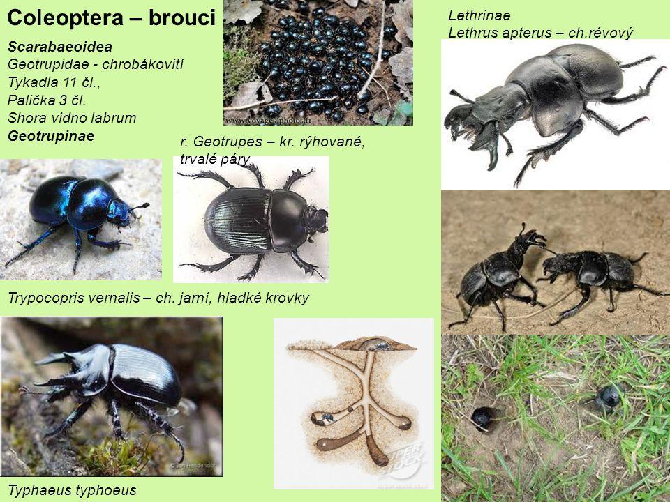Coleoptera – brouci Scarabaeoidea Geotrupidae - chrobákovití Tykadla 11 čl., Palička 3 čl.