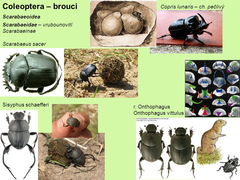 Coleoptera – brouci Scarabaeoidea Scarabaeidae – vrubounovití Scarabaeinae Scarabaeus sacer Copris lunaris – ch.