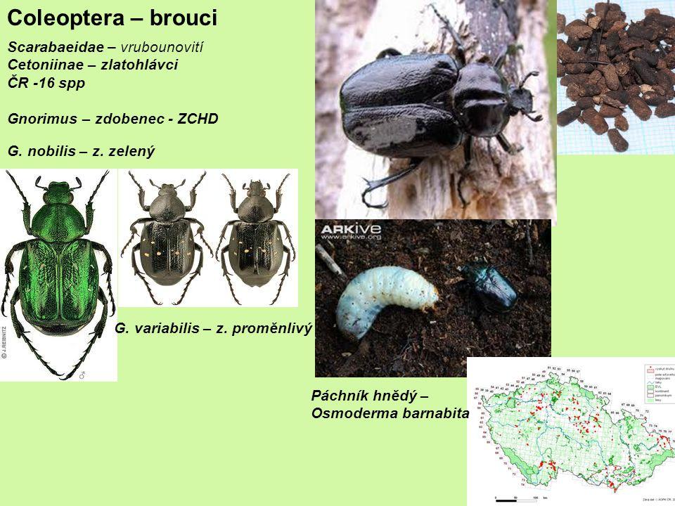 Scarabaeidae – vrubounovití Cetoniinae – zlatohlávci ČR -16 spp Gnorimus – zdobenec - ZCHD Coleoptera – brouci G.