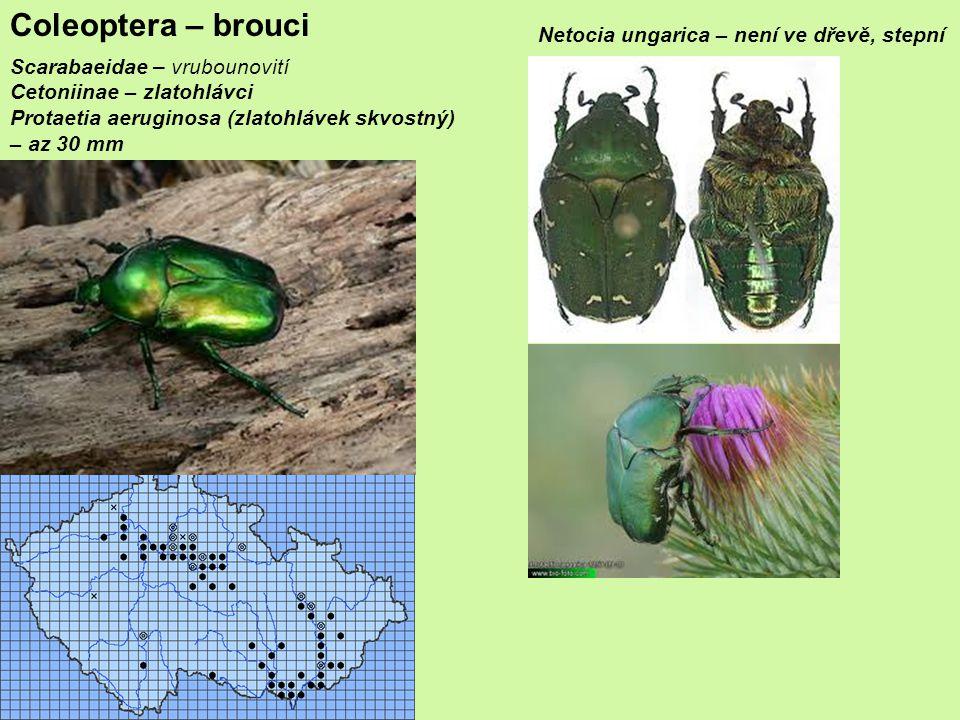 Scarabaeidae – vrubounovití Cetoniinae – zlatohlávci Protaetia aeruginosa (zlatohlávek skvostný) – az 30 mm Coleoptera – brouci Netocia ungarica – není ve dřevě, stepní