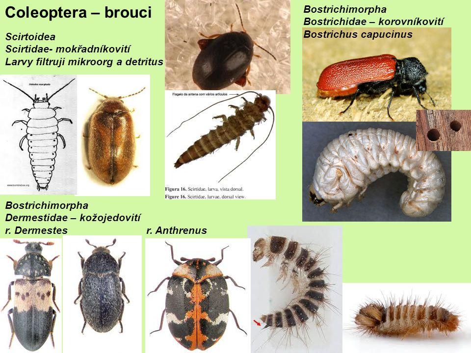 Bostrichimorpha Dermestidae – kožojedovití r.Dermestesr.