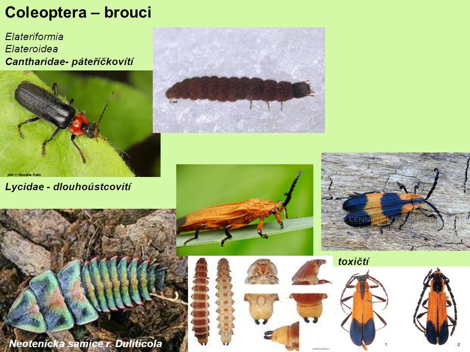 Coleoptera – brouci Elateriformia Elateroidea Cantharidae- páteříčkovítí Lycidae - dlouhoústcovití Neotenicka samice r.