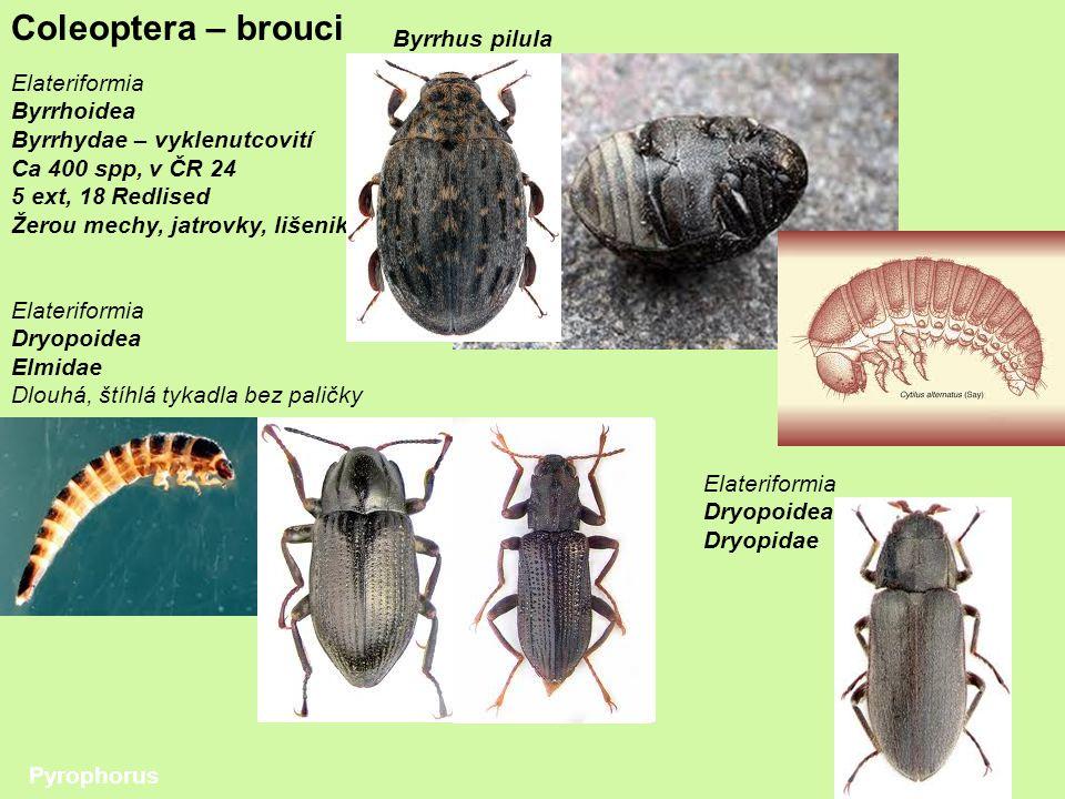 Coleoptera – brouci Elateriformia Byrrhoidea Byrrhydae – vyklenutcovití Ca 400 spp, v ČR 24 5 ext, 18 Redlised Žerou mechy, jatrovky, lišeniky Elateriformia Dryopoidea Elmidae Dlouhá, štíhlá tykadla bez paličky Pyrophorus Byrrhus pilula Elateriformia Dryopoidea Dryopidae