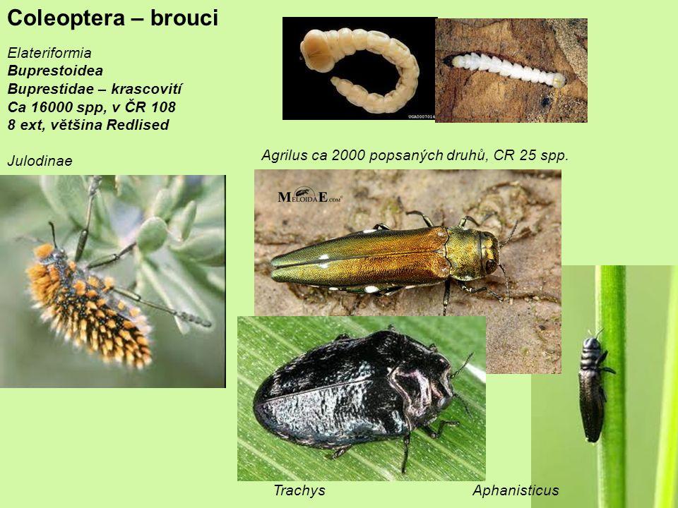 Coleoptera – brouci Elateriformia Buprestoidea Buprestidae – krascovití Ca 16000 spp, v ČR 108 8 ext, většina Redlised Julodinae Agrilus ca 2000 popsaných druhů, CR 25 spp.