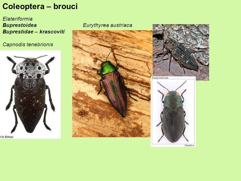 Coleoptera – brouci Elateriformia Buprestoidea Buprestidae – krascovití Capnodis tenebrionis Eurythyrea austriaca