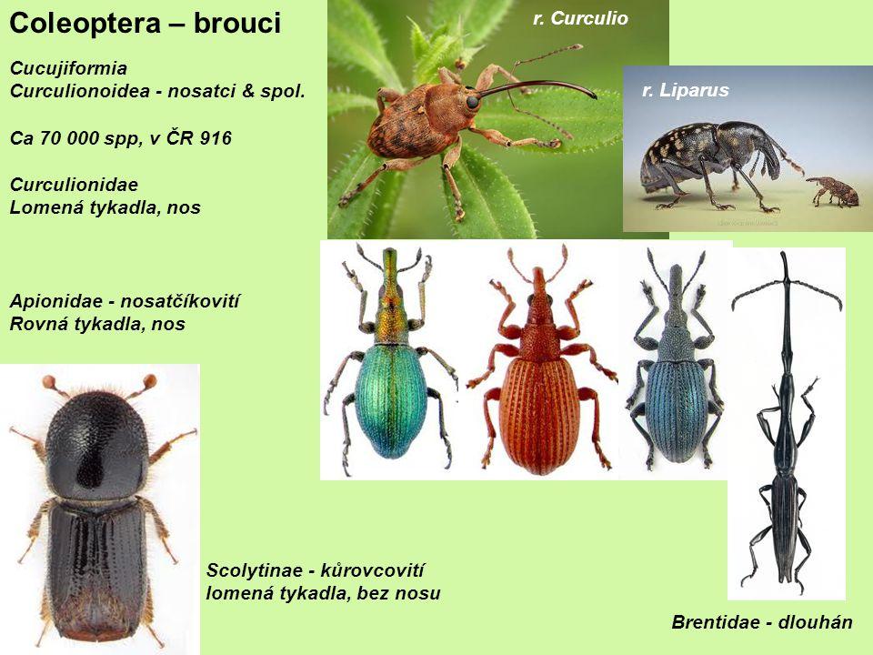 Coleoptera – brouci Cucujiformia Curculionoidea - nosatci & spol.