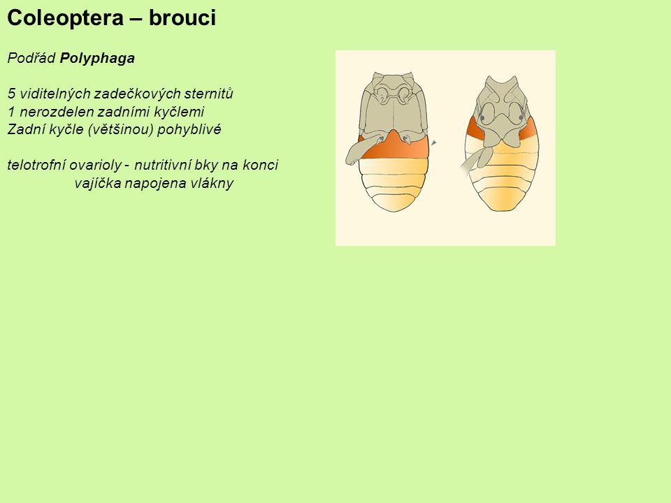 Coleoptera – brouci Podřád Polyphaga 5 viditelných zadečkových sternitů 1 nerozdelen zadními kyčlemi Zadní kyčle (většinou) pohyblivé telotrofní ovarioly - nutritivní bky na konci vajíčka napojena vlákny