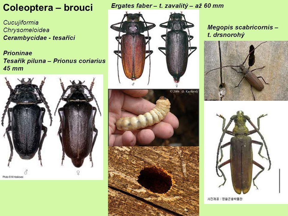 Coleoptera – brouci Cucujiformia Chrysomeloidea Cerambycidae - tesaříci Prioninae Tesařík piluna – Prionus coriarius 45 mm Ergates faber – t.