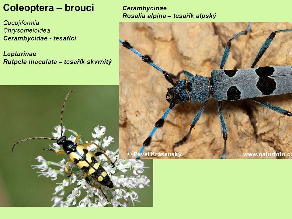 Coleoptera – brouci Cucujiformia Chrysomeloidea Cerambycidae - tesaříci Lepturinae Rutpela maculata – tesařík skvrnitý Cerambycinae Rosalia alpina – tesařík alpský